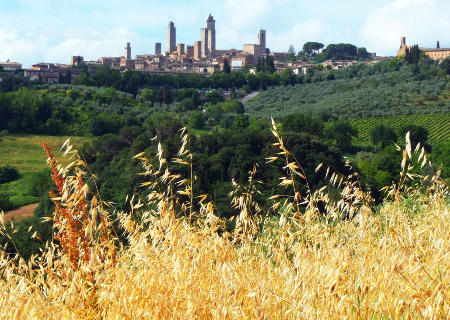 san-gim-corn-fields-tuscany-italy.jpg - Italy - Tuscany Tourer - Guided Road Cycling Holiday - Italia Road Cycling