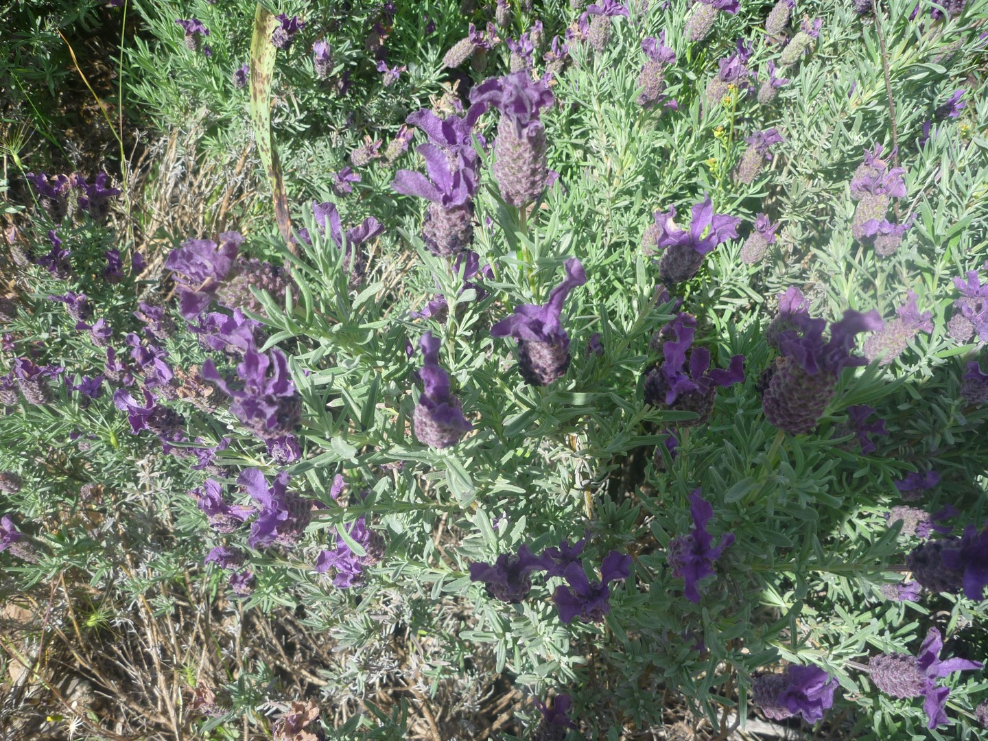 Lavander.jpg - Sardinia - South West Coast and Mountains Walk - Guided Holiday - Walking